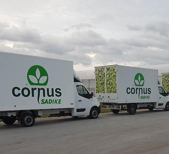 Sadike zelenjave in vrtnin Cornus - dostava sadik