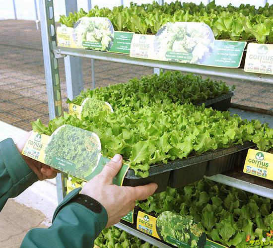 Sadike za vrt - zlaganje solate