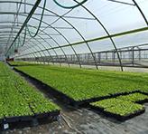 Sadike Cornus Križevci - rastlinjaki