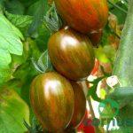 Paradižnik-Crispino-Plum-F1-02